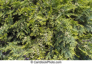 weißes, zeder, (thuja, occidentalis)
