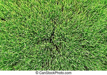 wei, bovenzijde, textuur, groen gras, aanzicht