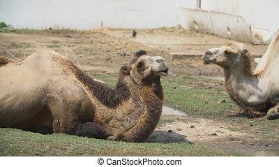wei, kamelen, twee, leugen