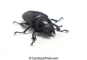 weibliche , hintergrund, freigestellt, rehbock, cervus), käfer, weißes, (lucanus