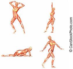 weibliche , menschlicher körper, koerperbau, pack-1of5