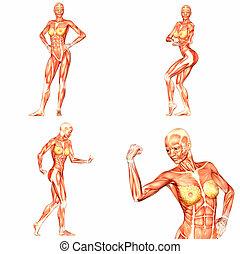 weibliche , menschlicher körper, koerperbau, pack-5of5