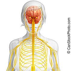 weibliche , nervensystem, kunstwerk