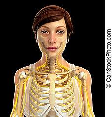 weibliche , nervensystem