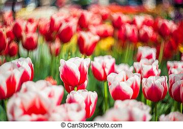 weich, blumen-, hintergrund, mit, tulpenblüte