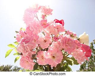 weich, rosafarbene rosen, gegen, der, hintergrund, von, der, blauer himmel, und, unter, helle sonne, licht