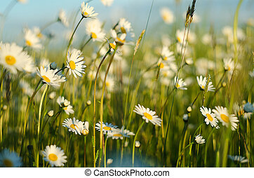 weich, weißes, gänseblümchen, blüte, in, sommer