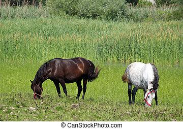 weide, pferd, schwarz, weißes