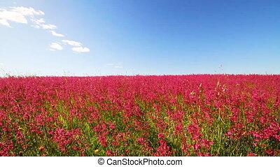weide, van, rode bloem