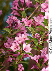 Weigela. branch plants with bright flowers