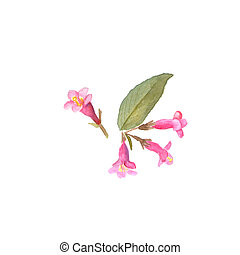 Weigela florida flower in a watercolor style isolated. Aquarelle wild flower for background, texture, wrapper pattern, frame or border