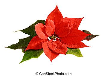 weihnachten, blume, poinsettia, rotes