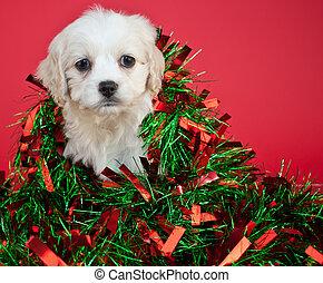 weihnachten, junger hund