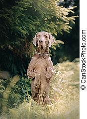 weimaraner dog begging outdoors in summer