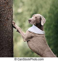 weimaraner dog in a bandana posing by a tree outdoors