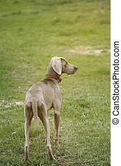 Weimaraner dog looking to the side in a field of green grass.
