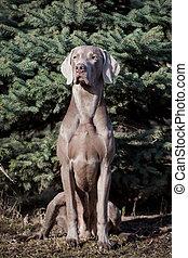 Weimaraner dog outside