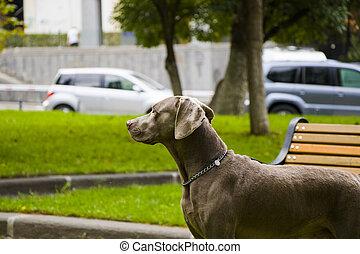 Weimaraner dog portrait in the park
