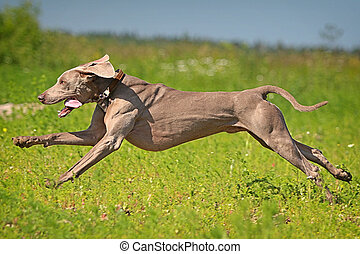 Weimaraner dog run in field