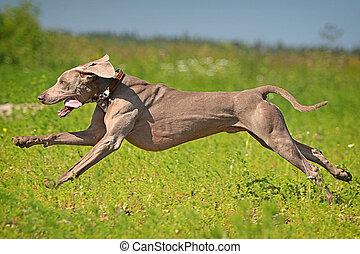 Weimaraner dog run in field