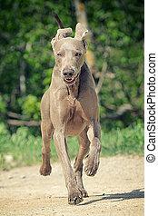 Weimaraner dog run in road