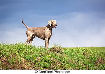 dog - weimaraner dog