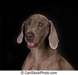 Weimaraner Dog - Weimaraner dog on black with black...