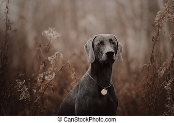 weimaraner dog with a collar and id tag posing in autumn