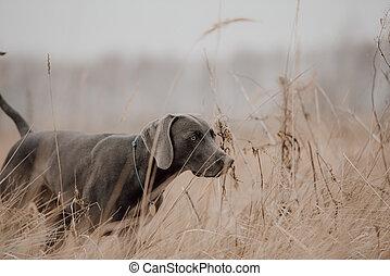 weimaraner dog working in the field in autumn