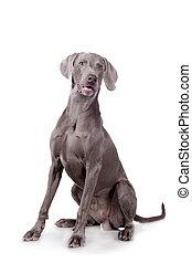 Weimaraner isolated on white - Funny Weimaraner Dog isolated...