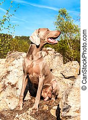 Weimaraner on rock in forest. Hunting dog on the hunt. Spring walk through the forest with a dog. Hound on the hunt.