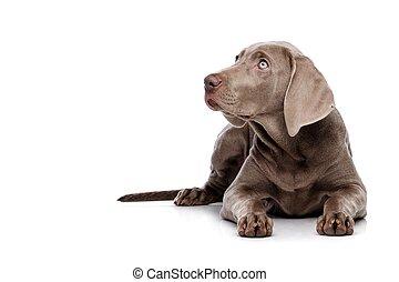 weimaraner, pies, odizolowany, na białym