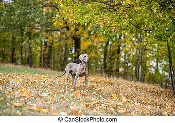 Weimaraner posing on a meadow in autumn landscape