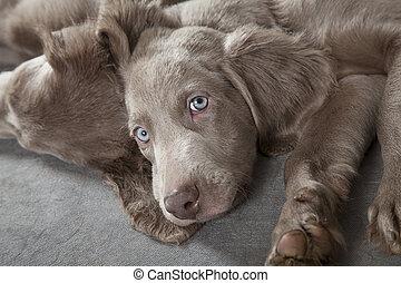 Weimaraner puppies - Three months old Weimaraner puppy...
