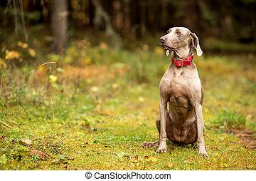 Weimaraner vizsla hunting dog sitting in the forest