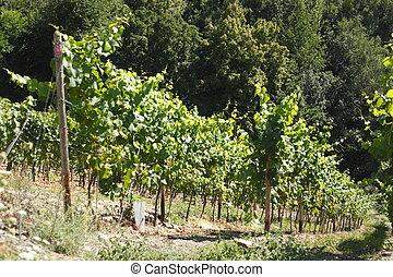 Weinberg mit Weinreben