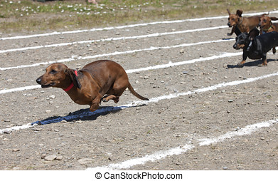 Weiner dog race. - Small Dachshunds race with each other at...