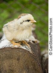 weinig; niet zo(veel), chicken