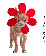 weinig; niet zo(veel), chihuahua, zoals, bloem, aankleding