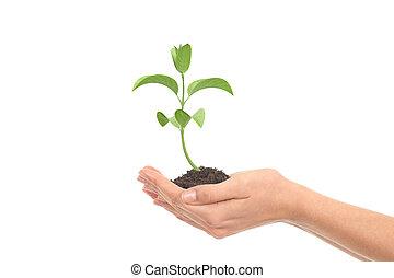 weinig; niet zo(veel), plant, groei, in, een, vrouw, handen