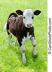weinig; niet zo(veel), weide, boerderij, animal., spelend, kalf