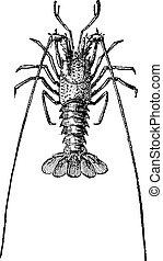 weinlese, crawdads, crayfish, oder, engraving.