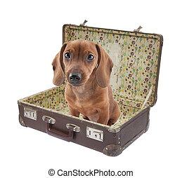weinlese, junger hund, dachshund, koffer