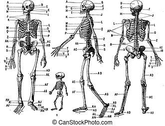 weinlese, skelett, menschliche , engraving.