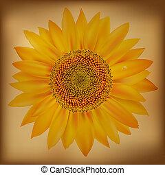 weinlese, sonnenblume