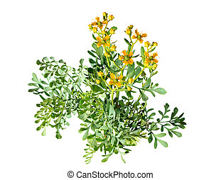 Weinraute, Ruta graveolens - Herb of Grace on white...