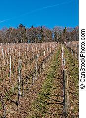 weinstöcke, wenig, reihen, wald, wineyard