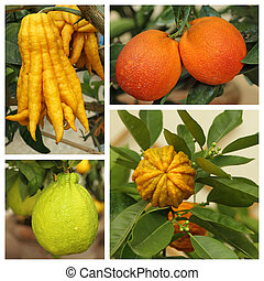 weird citrus collection - images from Boboli orangery in...