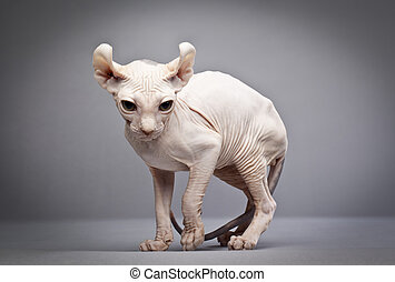 weird hairless cat