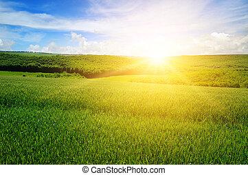 weizen- feld, blau, himmelsgewölbe, mit, licht, clouds., oben, der, horizont, gleichfalls, a, hell, sunrise., landwirtschaftlich, landschaft.